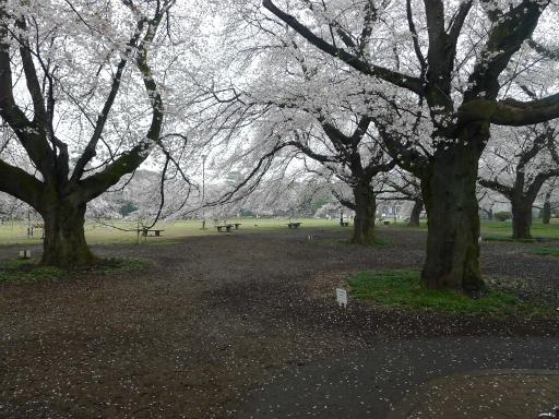 20130327・桜1-04