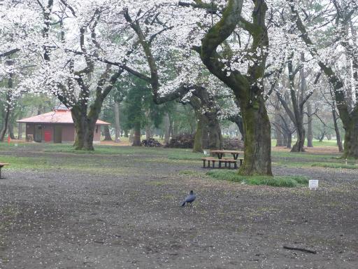 20130327・桜1-12