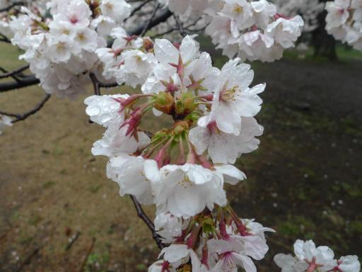 20130327・桜1-09