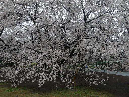 20130327・桜1-07