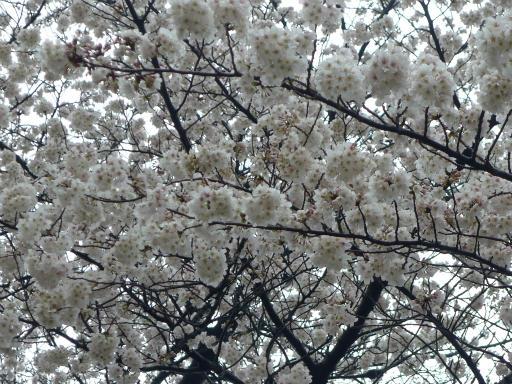 20130327・桜1-08