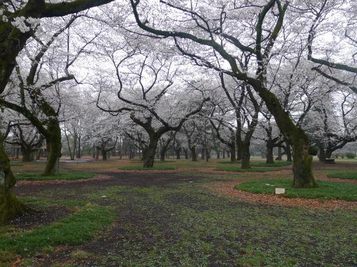 20130327・桜1-17