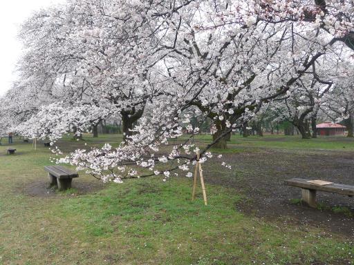 20130327・桜1-13