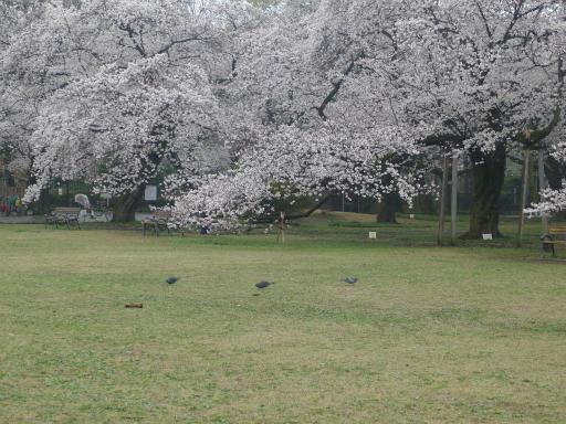 20130327・桜1-15