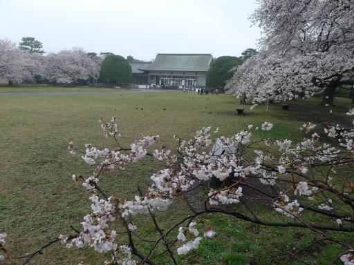 20130327・桜1-14