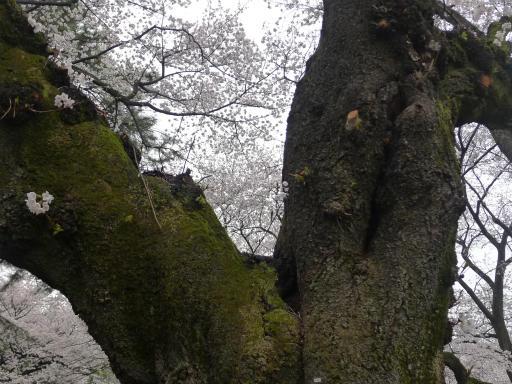 20130327・桜1-22