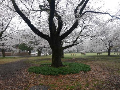 20130327・桜1-23