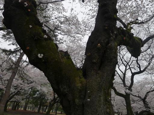 20130327・桜1-21