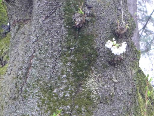 20130327・桜1-19