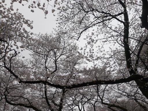 20130327・桜1-20