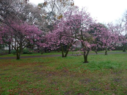 20130327・桜2-15