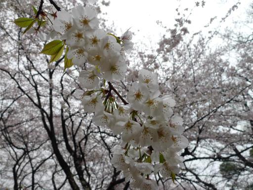 20130327・桜3-06