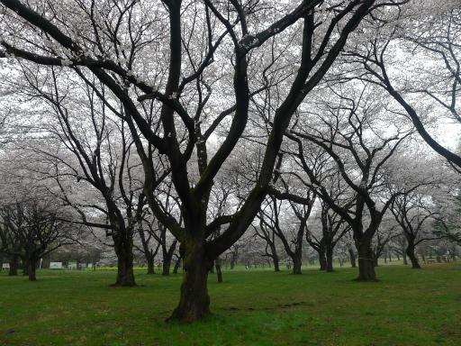 20130327・桜3-04