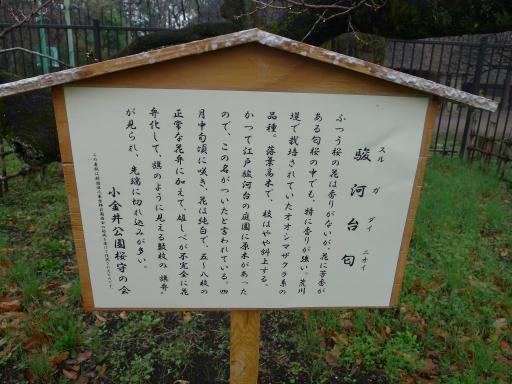 20130327・桜3-11・中