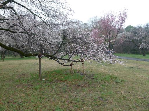 20130327・桜3-09