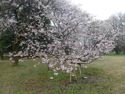 20130327・桜3-10