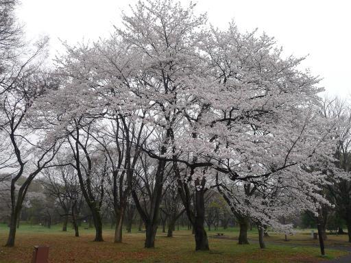 20130327・桜3-07