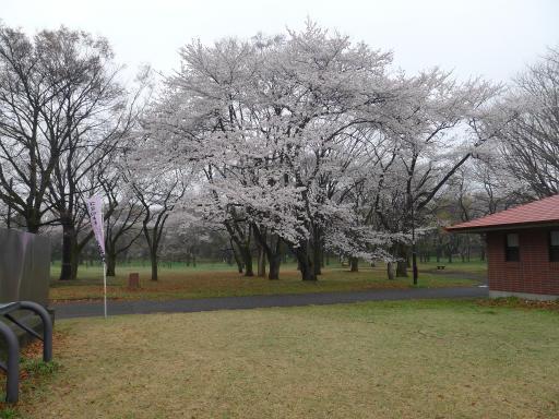20130327・桜3-08