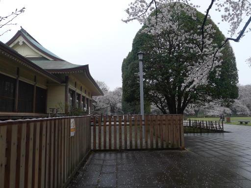 20130327・桜3-14