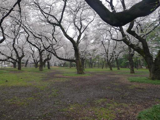 20130327・桜3-23