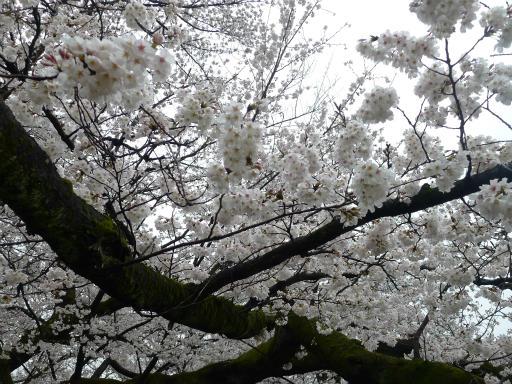 20130327・桜3-20