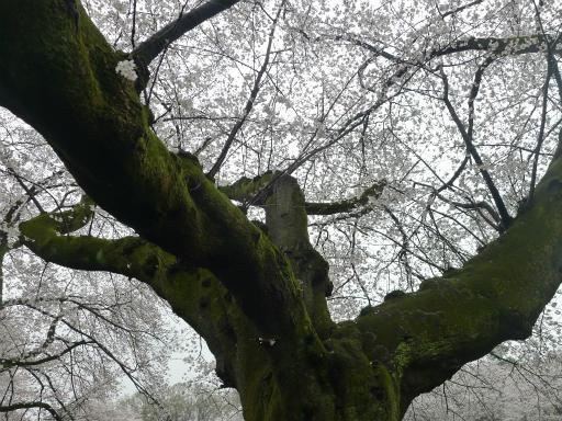 20130327・桜3-21