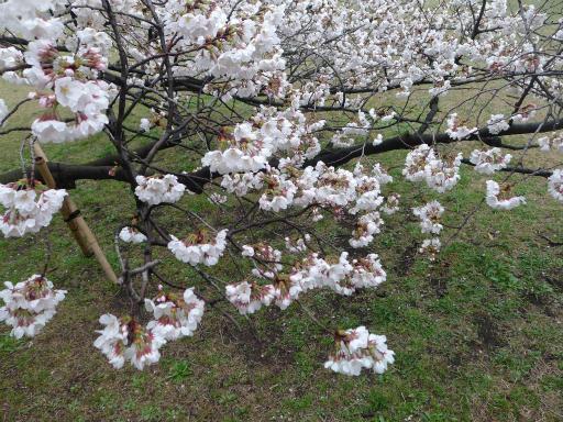 20130327・桜3-19