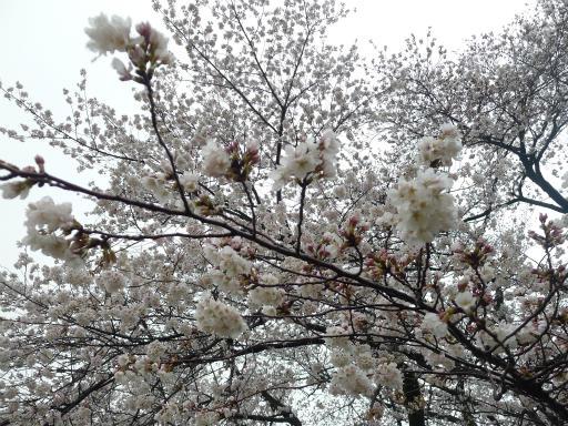 20130327・桜と空06