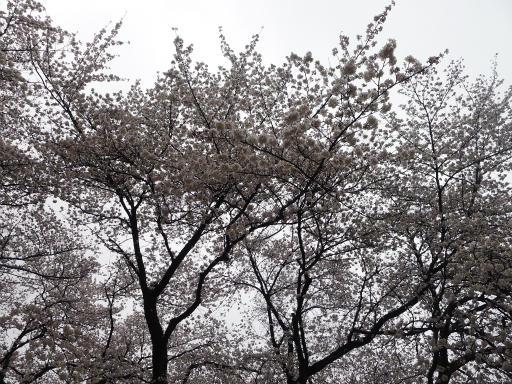 20130327・桜と空05