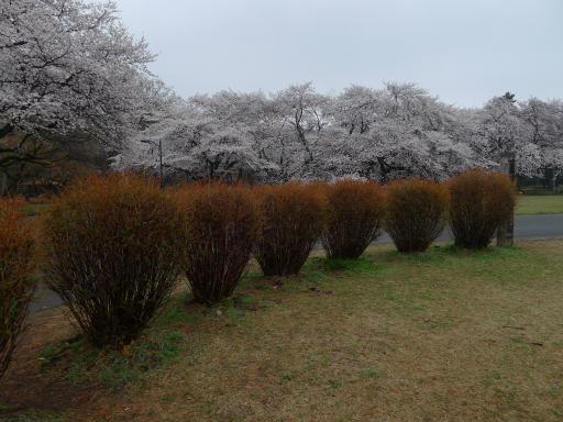 20130327・桜と空03