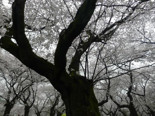 20130327・桜と空01