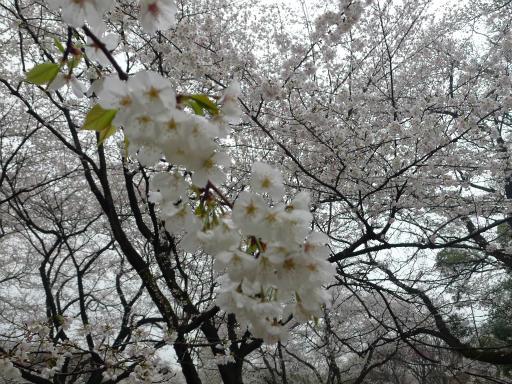20130327・桜と空12