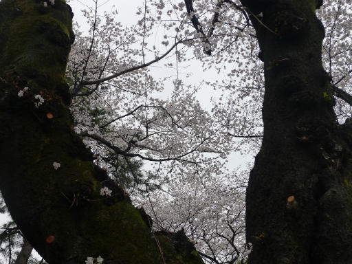 20130327・桜と空08