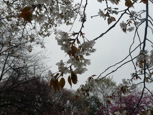 20130327・桜と空10