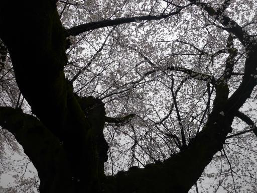 20130327・桜と空18