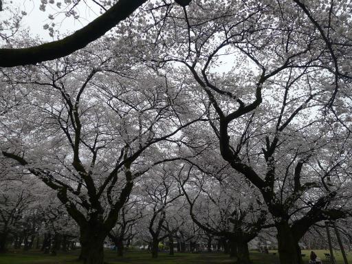 20130327・桜と空17