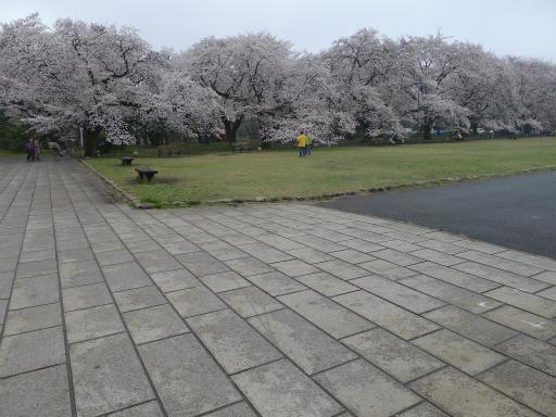 20130327・桜と空16