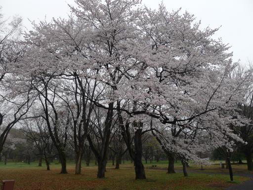 20130327・桜と空13