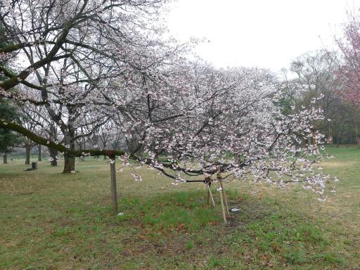 20130327・桜と空14