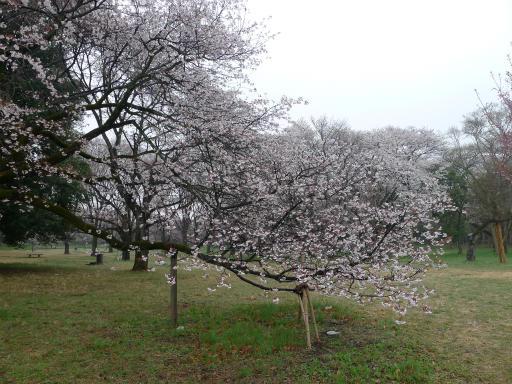 20130327・桜と空15