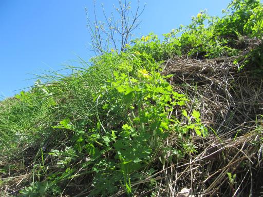 20130407・緑の森2-15・クサノオウ