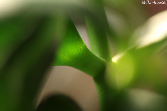金のなる木・葉の付け根