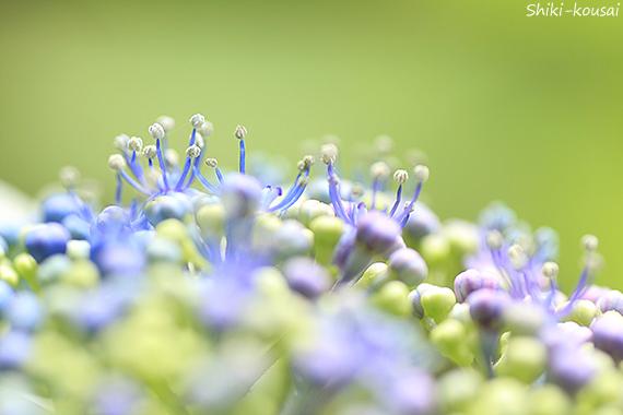 紫陽花・シベ