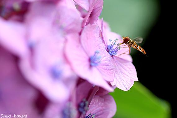 紫陽花・ハナアブ