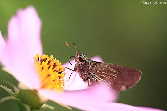 セセリ蝶&コスモス