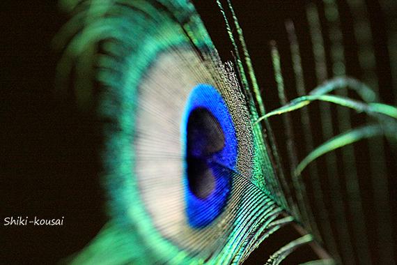 クジャクの羽根