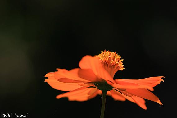 キバナコスモス
