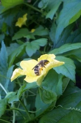 ミツバチ受粉中①