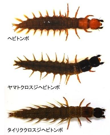 ヘビトンボ類幼虫3種