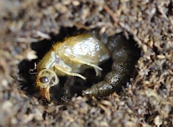 タイリク蛹